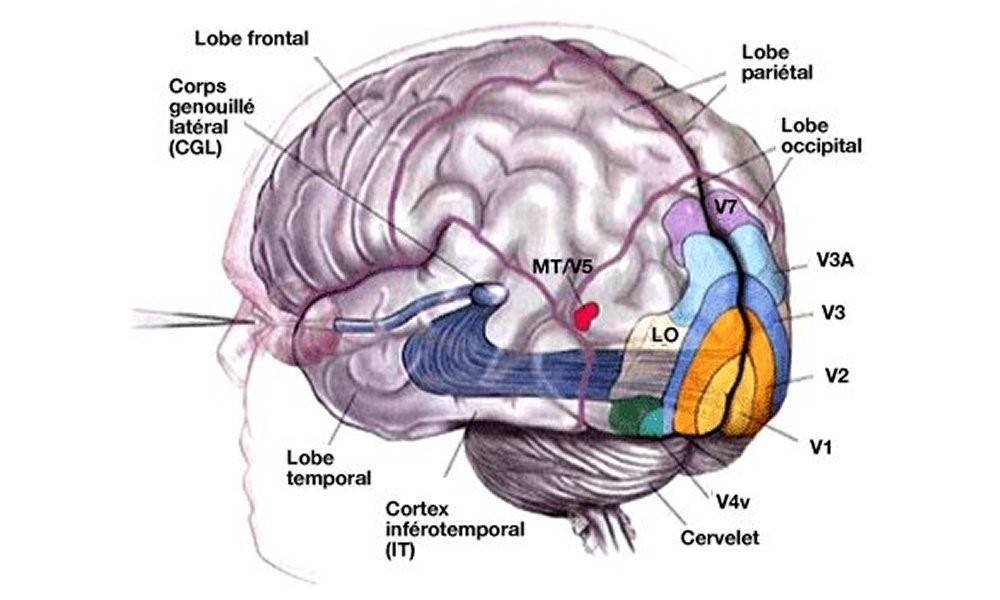 dessin cerveau - mise en évidence cortex visuel